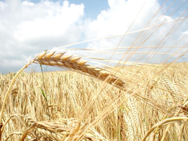 Ирак интересуется поставками зерна из России