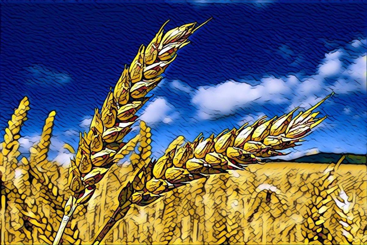 торговля пшеницей